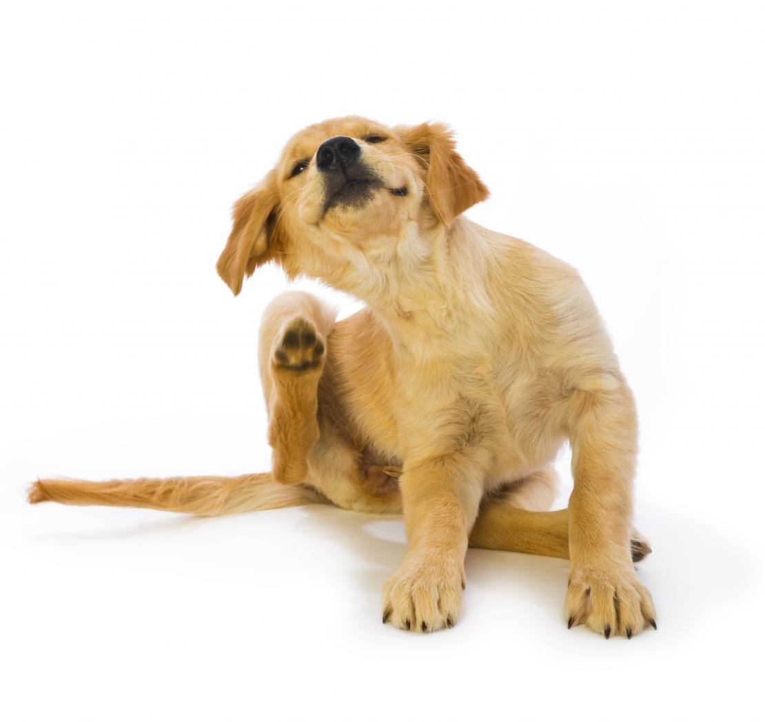 chien puces